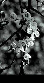 Cherry blossom by Marija Djedovic