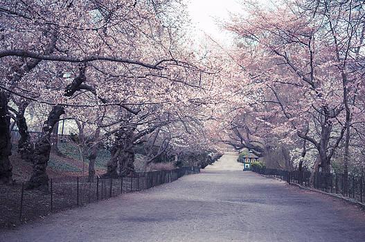 Cherry Blossom Path - Central Park Springtime by Vivienne Gucwa