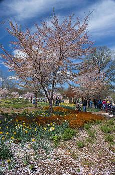 Cherry Blossom by Ranjana Pai