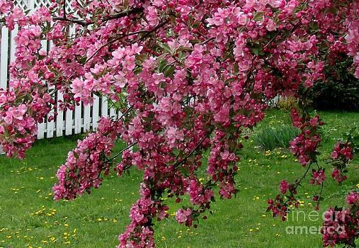 Gail Matthews - Cherry Blossom Splashing Color