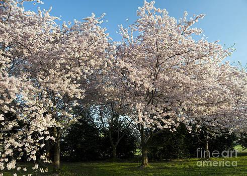 Leslie Cruz - Cherry Blossom Trees