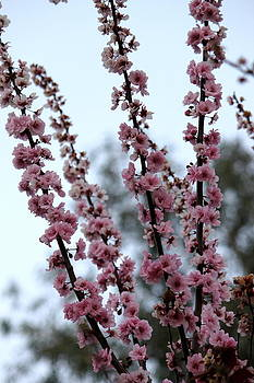 Cherry Blossoms by Ashley Balkan