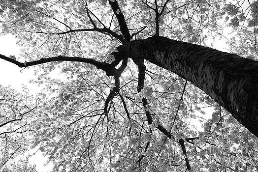 Cherry Blossoms Black and White by Angela DiPietro