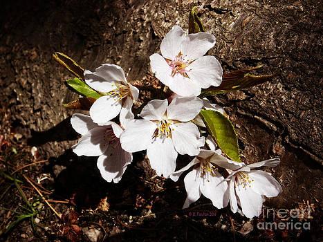 Dee Flouton - Cherry Blossoms
