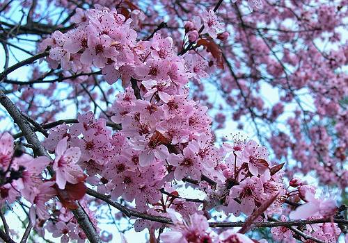 Cherry Blossoms I by Deborah Knolle