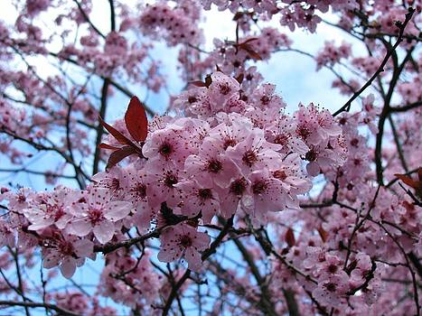 Cherry Blossoms II by Deborah Knolle