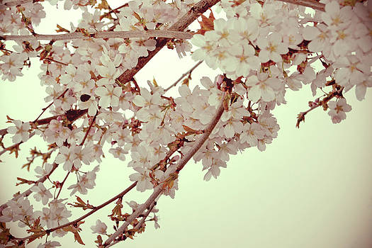 Cherry blossoms II by Nadeesha Jayamanne