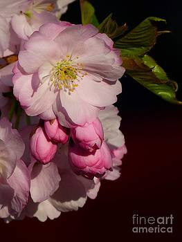 Christine Stack - Cherry Blossoms in Spring IV