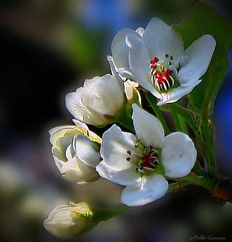 Cherry Blossoms in Spring by Mikki Cucuzzo