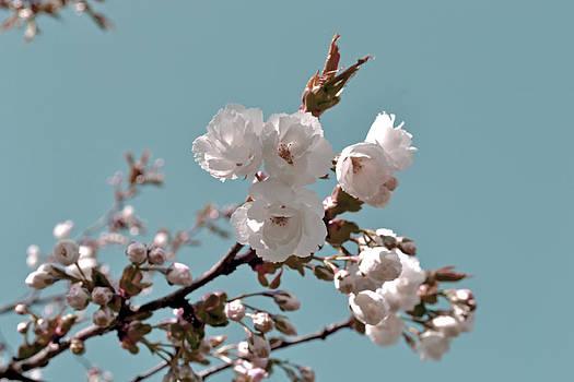 Cherry blossoms by Nadeesha Jayamanne
