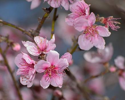 Cherry Blossoms by Old Pueblo Photography