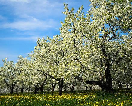 Cherry Blossoms by Thomas Pettengill