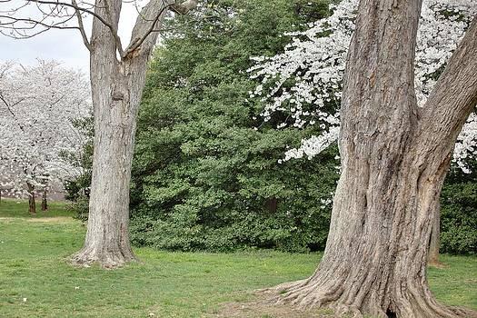 Cherry Blossoms - Washington DC - 011350 by DC Photographer