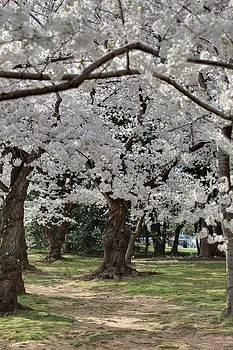 Cherry Blossoms - Washington DC - 011384 by DC Photographer