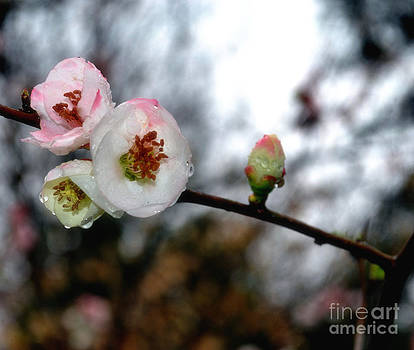 Cherry Blossoms with Rain Drops by Eva Thomas