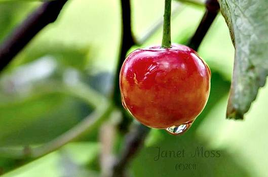 Cherry by Janet Moss