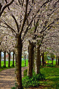 Cherry Trees At Spencer Smith by Craig Brown