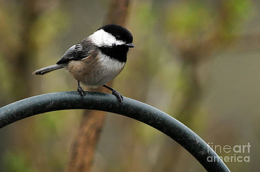 Chickadee Black Capped by Laura Mountainspring