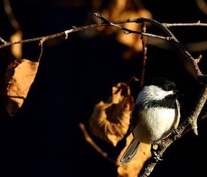 Chickadee by Glenn Sanborn
