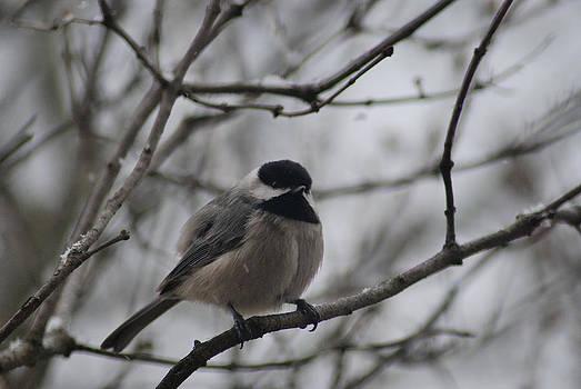 Chickadee in a Tree by Wanda Jesfield