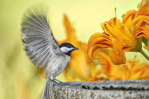 Chickadee in Daylily Garden by Bonnie Barry