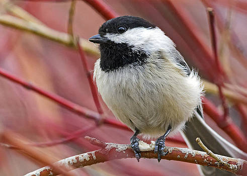 Chickadee in Red Twig Dogwood by Stephen  Johnson
