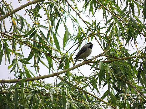 Chickadee in the Willow by Pamela Rivera
