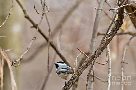 Chickadee in Wisconsin by Natural Focal Point Photography