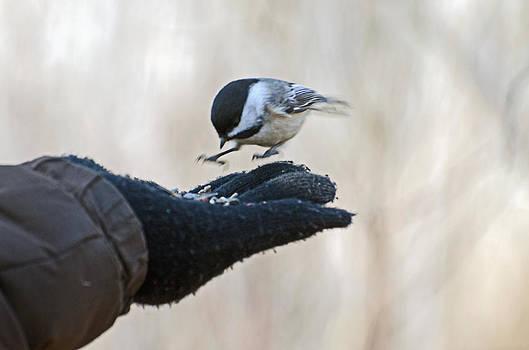 Chickadee landing by Cheryl Cencich