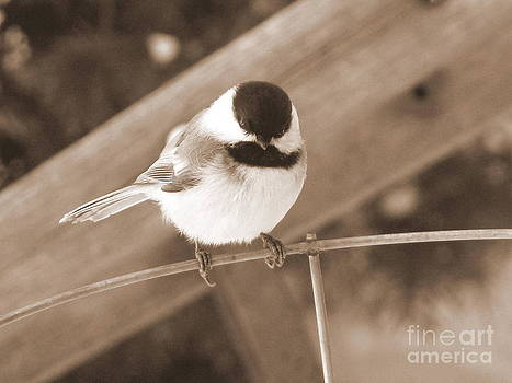 Chickadee on a Wire by Corinna Garza