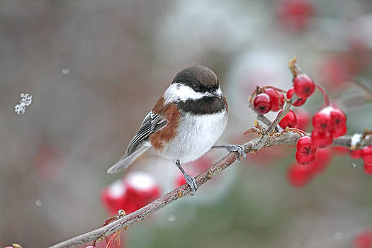Peggy Collins - Chickadee with Red Berries in Falling Snow