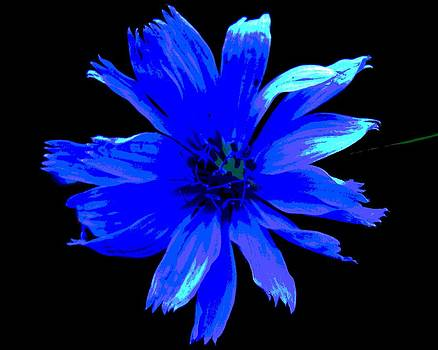 Chicory 3 by Mark Malitz