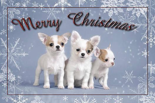 Waldek Dabrowski - Chihuahua Christmas Card 2