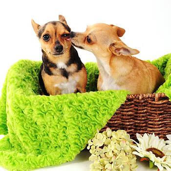 Chihuahua Kisses by Rebecca Brittain