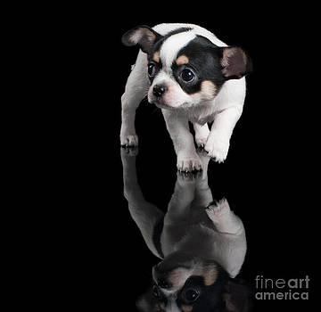 Chihuahua puppy steps forward on black background by Konstantin Gushcha