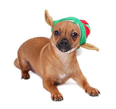 Chihuahua with hat by Perry Harmon