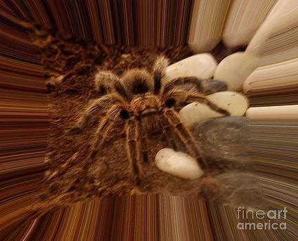 Gail Matthews - Chilean rose-haired Tarantula