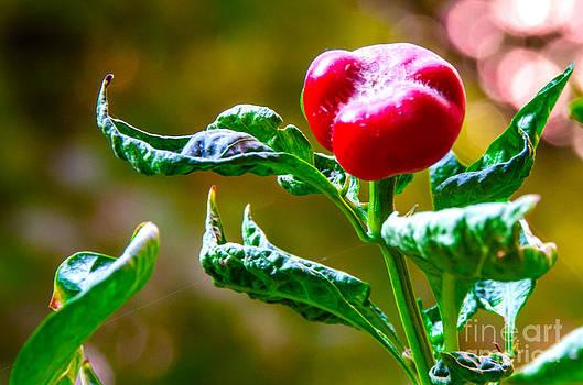 Pravine Chester - Chilli Pepper