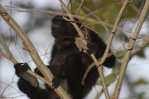 Chillin Howler Monkey by Kim Baker