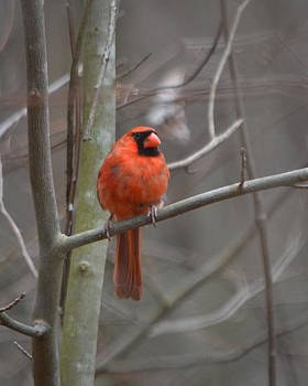 chilly Red by Mary Zeman
