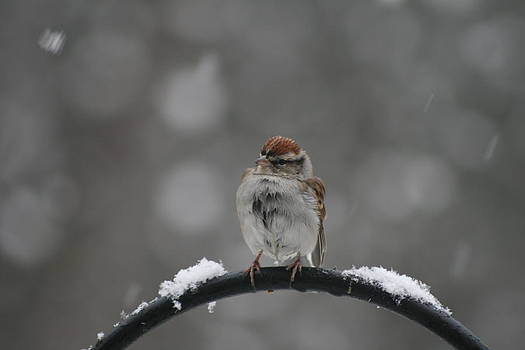 Chilly Sparrow by Beth Andersen