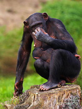Nick  Biemans - Chimp with a baby on her belly