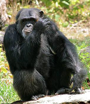 Gary Gingrich Galleries - Chimpanzee-1