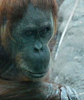 Walter Herrit - Chimpanzee 1a