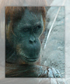 Walter Herrit - Chimpanzee 1b