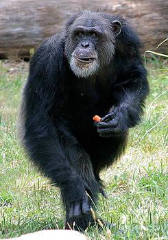 Gary Gingrich Galleries - Chimpanzee-5