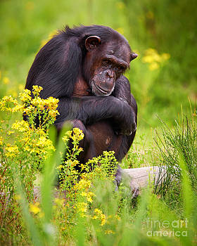 Nick  Biemans - Chimpanzee on a tree