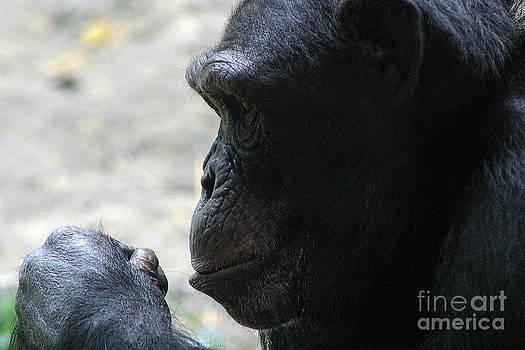 Gary Gingrich Galleries - Chimpanzee7240