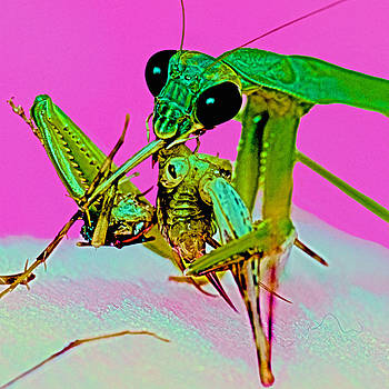 Chinese Praying Mantis Feeding On A Large Live Cricket by Leslie Crotty