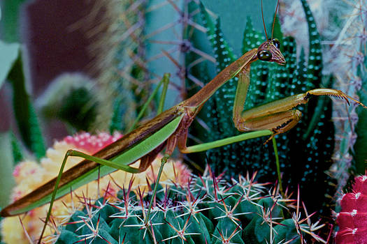 Chinese Praying Mantis Taking A Walk On A Cactus Plant Very Carefully by Leslie Crotty
